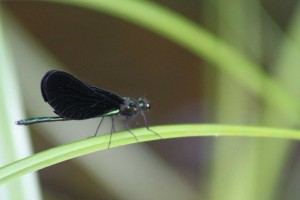 Naturel 000Demoiselle aux ailles noires