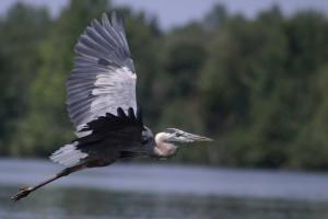 Naturel 014Grand héron bleu en vol