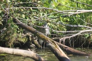 Naturel 016Grand héron bleu qui se cache