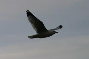 Oiseaux 028DVD170_result