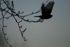 Oiseaux 031DVD175_result