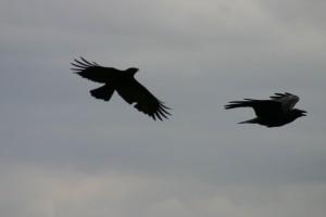 Oiseaux 041DVD265_result